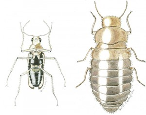 Odd Beetle male & female illustrated thumb - kelley