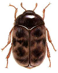 Warehouse Beetle thumb