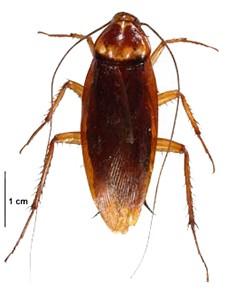 American cockroach thumb