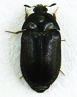 Black carpet beetle thumb