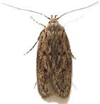 Brown House Moth 1 Thumb