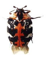 Buffalo Carpet Beetle Thumb