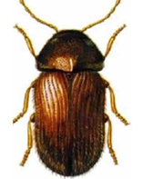Drugstore Beetle Thumb