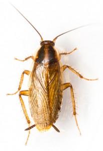 German Cockroach thumb