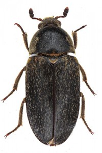 Hide Beetle thumb