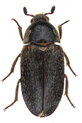 Identification Pest Fact Sheets Museumpests Net