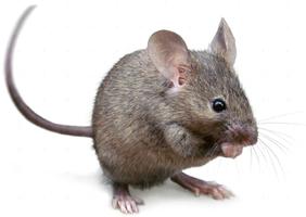 House Mouse Thumb