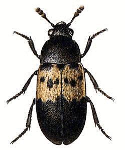 Larder Beetle thumb