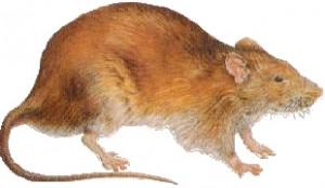 Norway Rat thumb