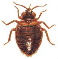 bedbug thumb