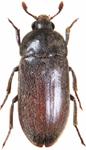 black larder beetle thumb