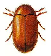 cigarette beetle thumb
