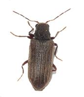 deathwatch beetle thumb