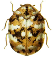 furniture carpet beetle thumb