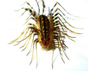 house centipede 1 thumb