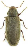 Furniture beetle thumb