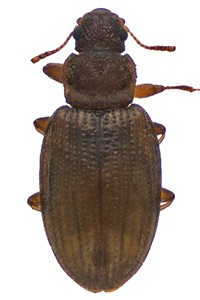 Minute Brown Scavenger Beetle thumb