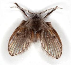 Moth Fly thumb