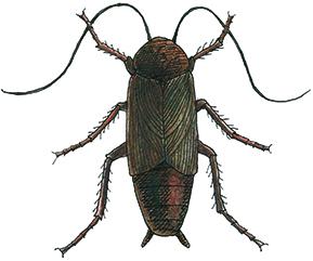 Oriental-Cockroach thumb