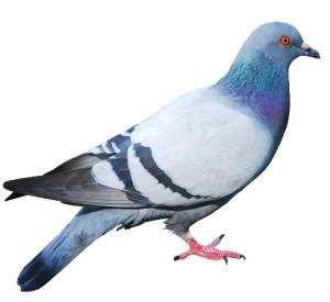 Pigeon thumb