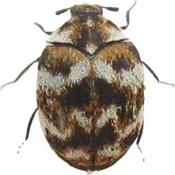 Varied Carpet Beetle thumb