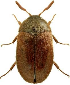 Vodka Beetle thumb