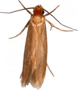 Webbing Clothes Moth thumb