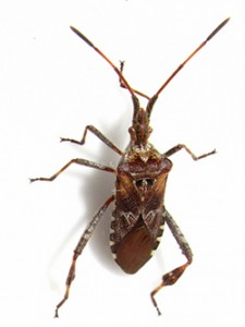 Western conifer seed bug thumb