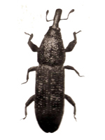 Wood boring weevil thumb