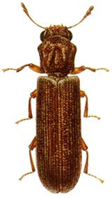 lyctid powderpost beetle thumb