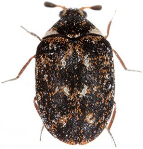 museum beetle thumb