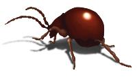 shiny-spider-beetle thumb