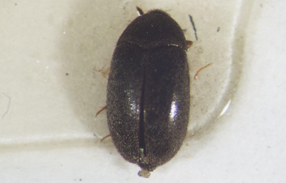 Title: Black Carpet Beetle Adult in Glue Trap