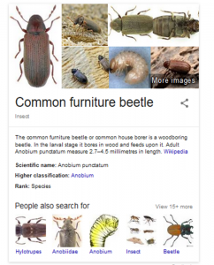 furniture beetle