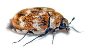This carpet beetle is ready for his close-up!